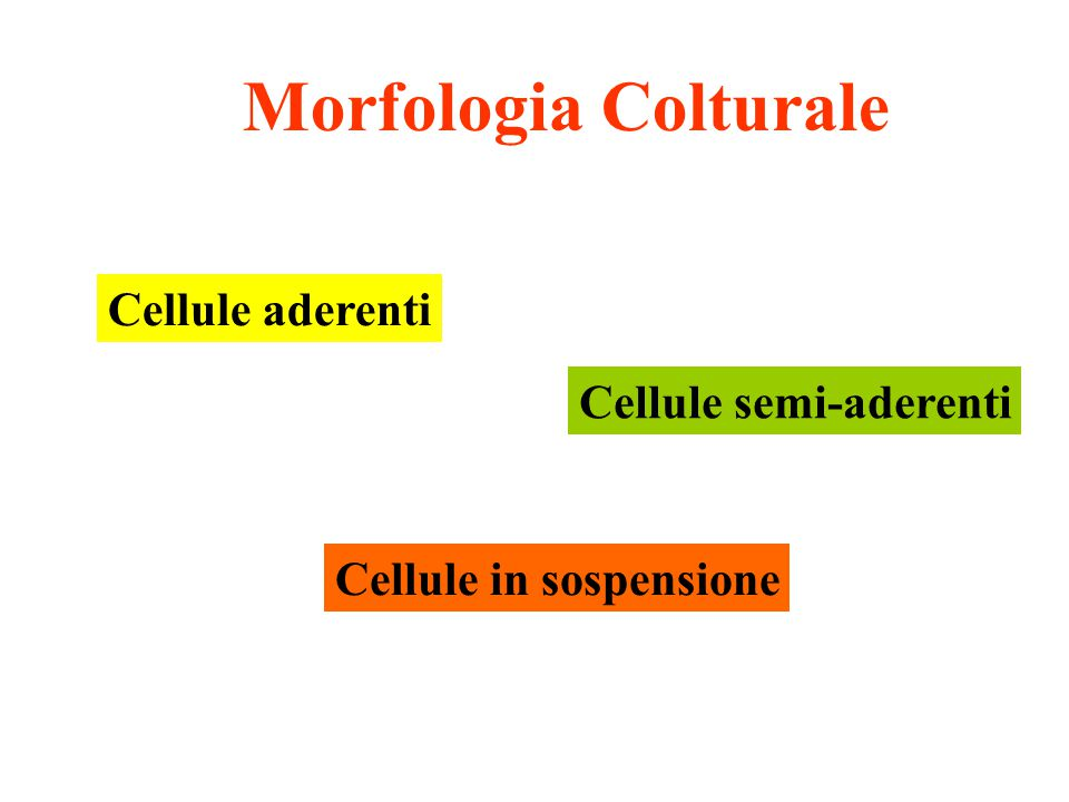 Morfologia Colturale Cellule aderenti Cellule semi-aderenti