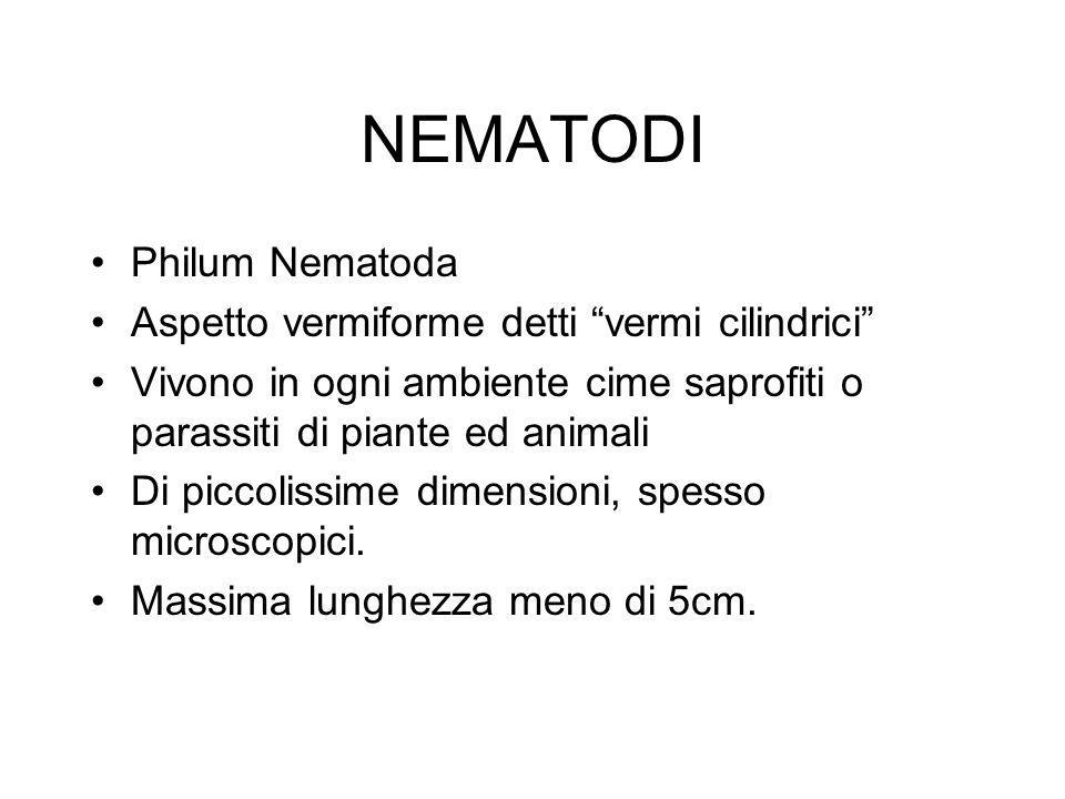 NEMATODI Philum Nematoda Aspetto vermiforme detti vermi cilindrici