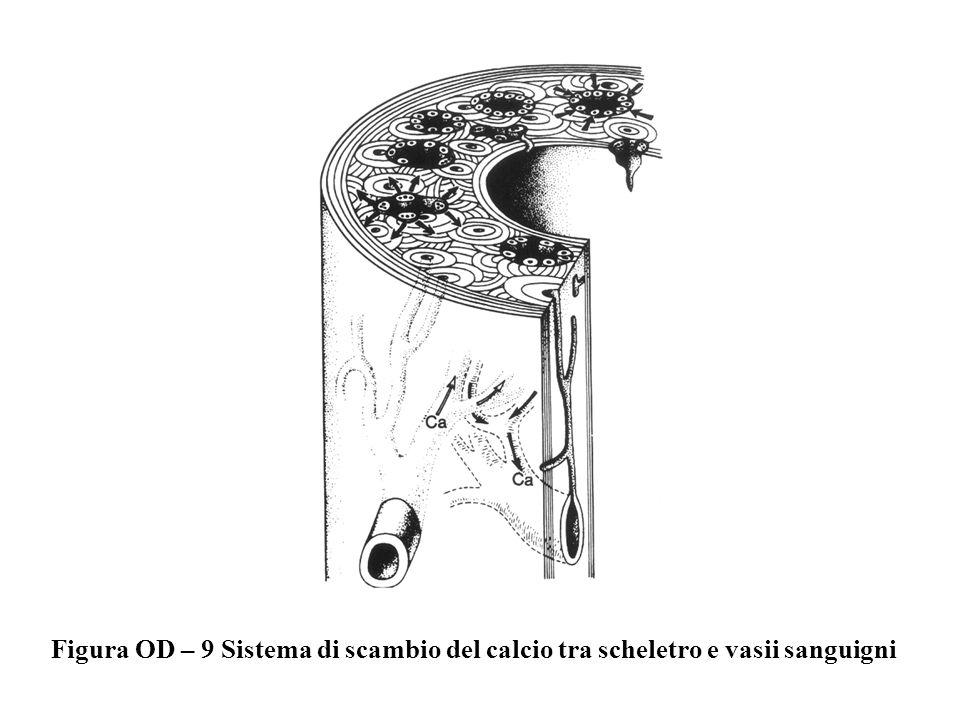 Figura OD – 9 Sistema di scambio del calcio tra scheletro e vasii sanguigni