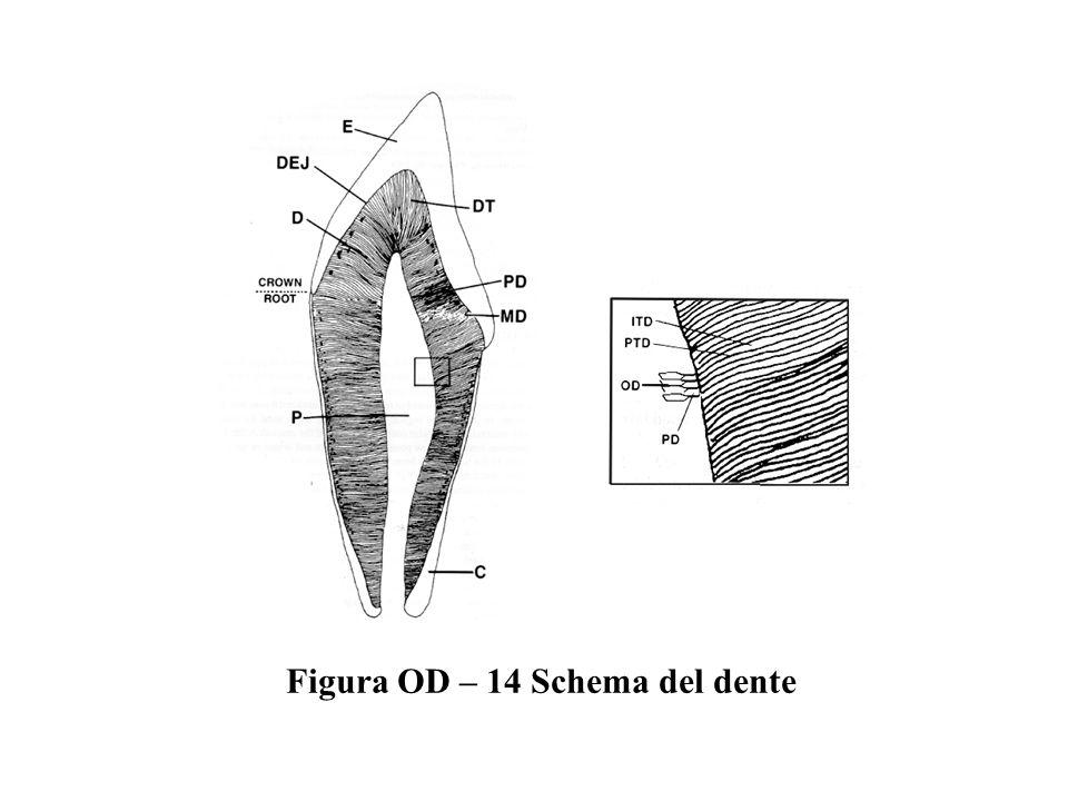 Figura OD – 14 Schema del dente