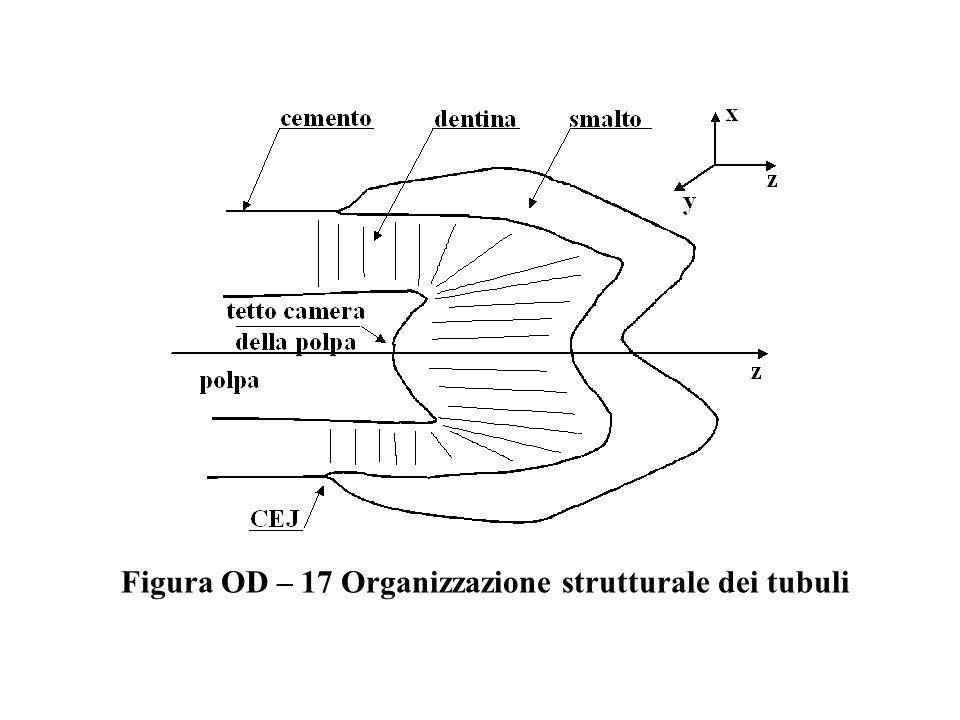Figura OD – 17 Organizzazione strutturale dei tubuli