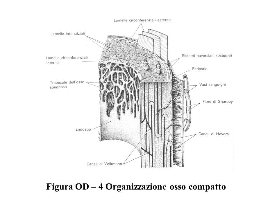 Figura OD – 4 Organizzazione osso compatto