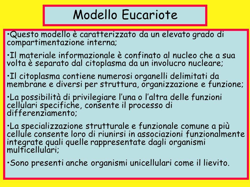 Modello Eucariote Questo modello è caratterizzato da un elevato grado di compartimentazione interna;
