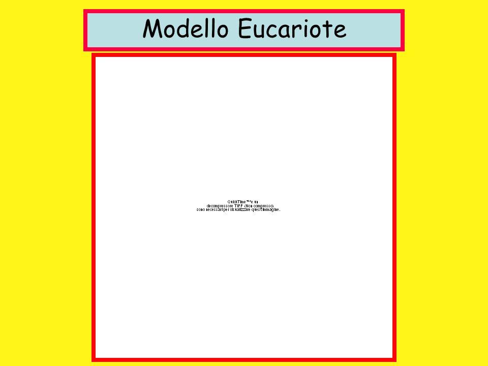 Modello Eucariote