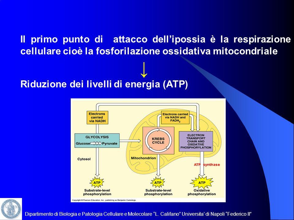 Riduzione dei livelli di energia (ATP)