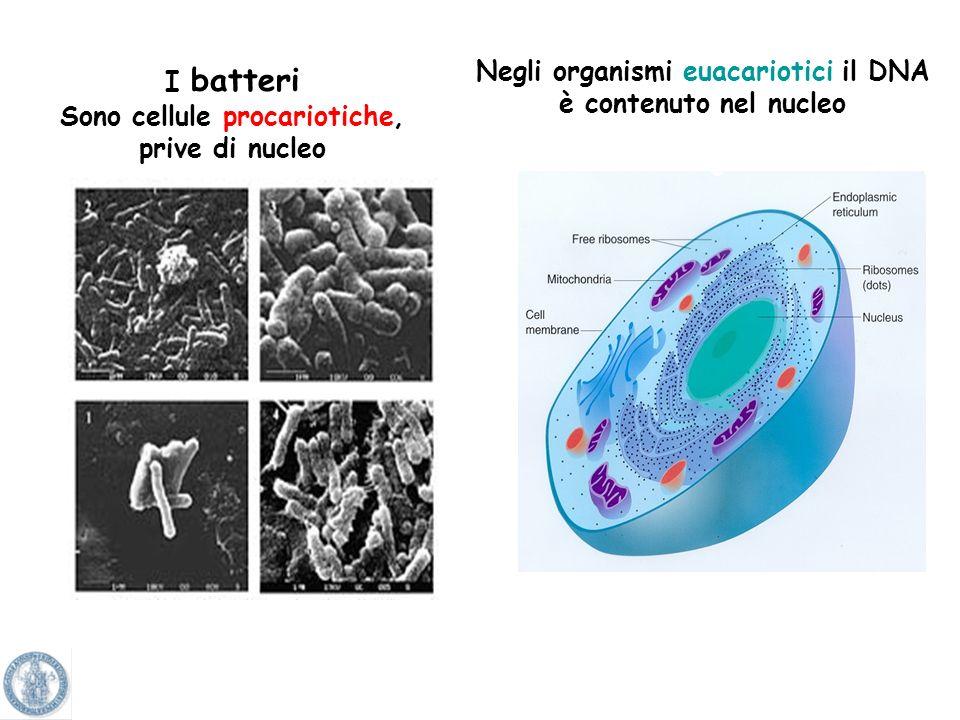 Sono cellule procariotiche,