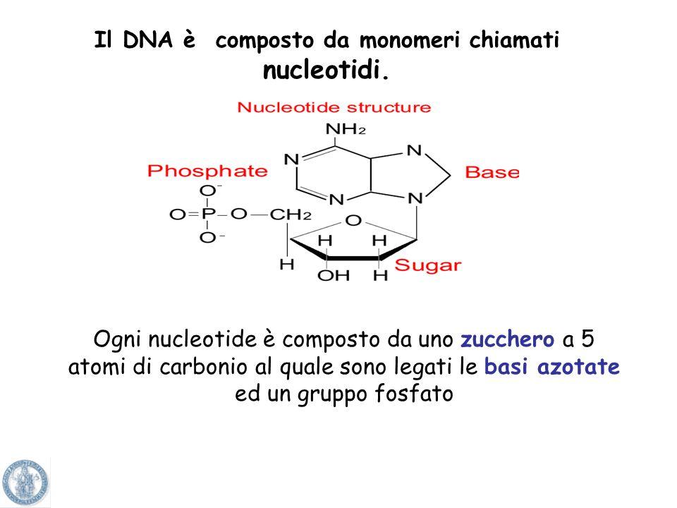 Il DNA è composto da monomeri chiamati nucleotidi.