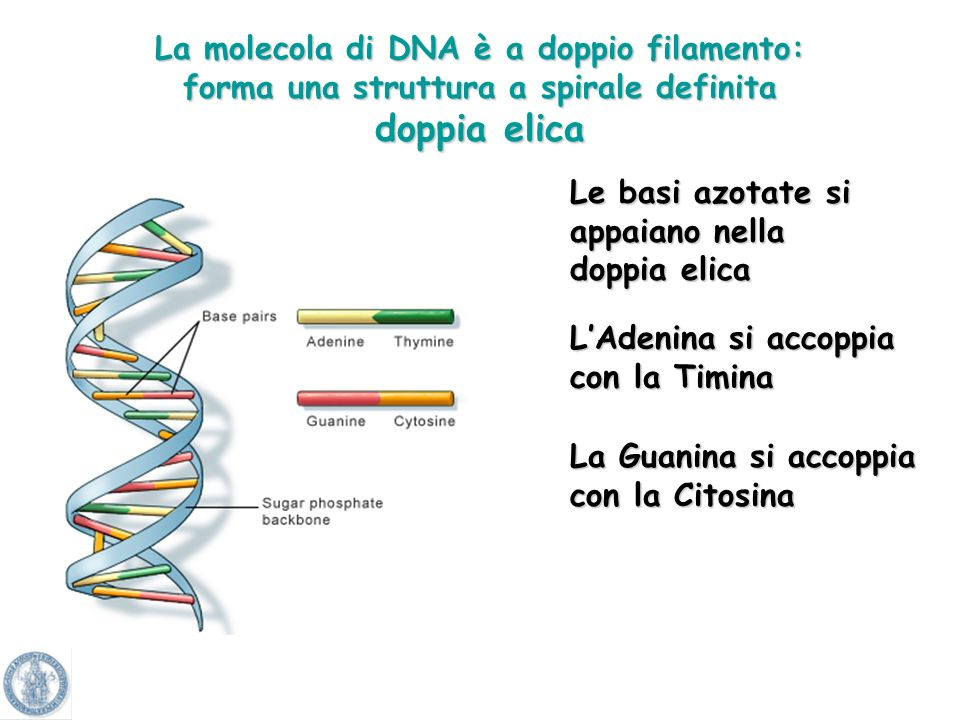 La molecola di DNA è a doppio filamento: forma una struttura a spirale definita doppia elica