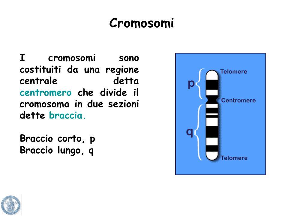 CromosomiI cromosomi sono costituiti da una regione centrale detta centromero che divide il cromosoma in due sezioni dette braccia.