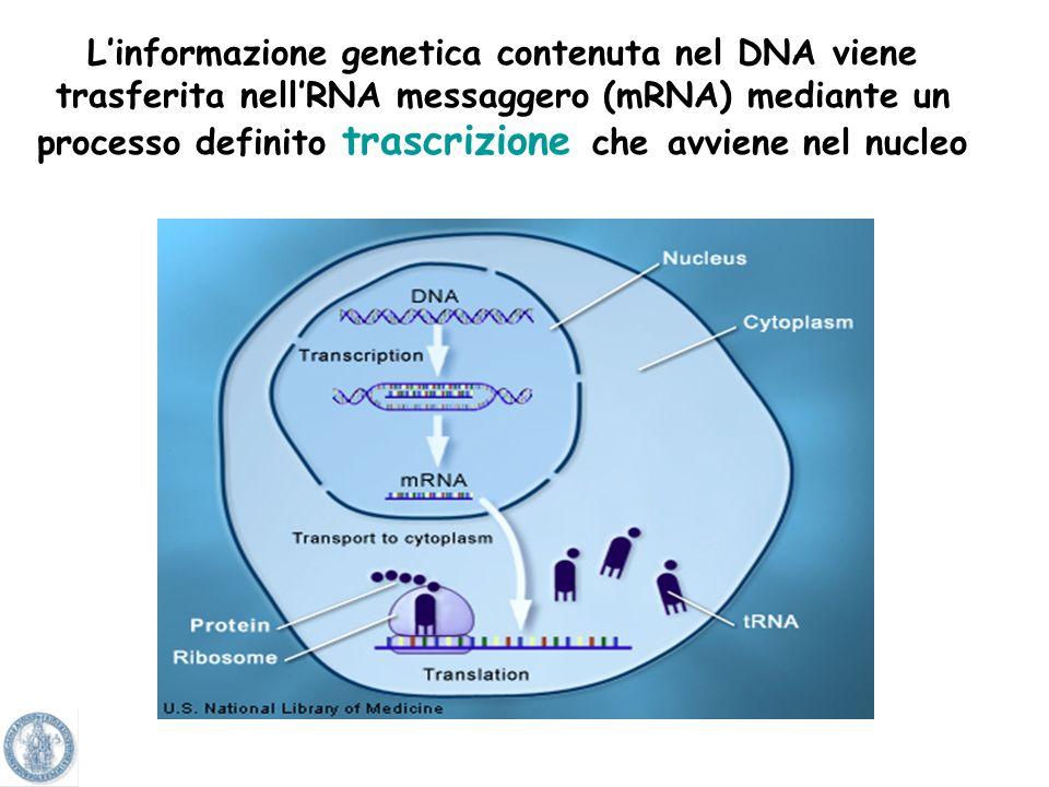L'informazione genetica contenuta nel DNA viene trasferita nell'RNA messaggero (mRNA) mediante un processo definito trascrizione che avviene nel nucleo