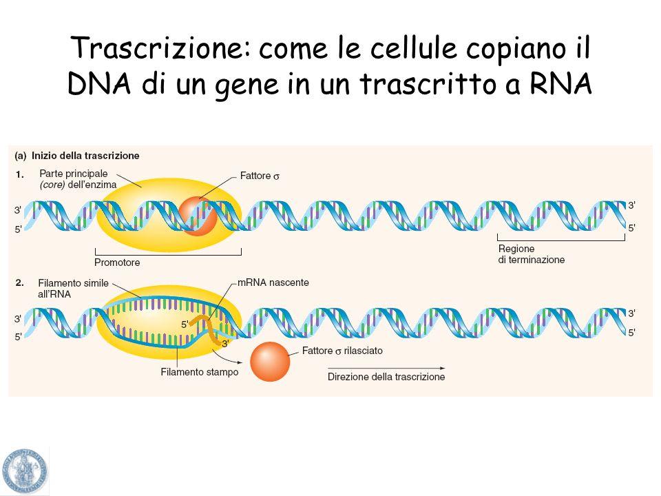 Trascrizione: come le cellule copiano il DNA di un gene in un trascritto a RNA