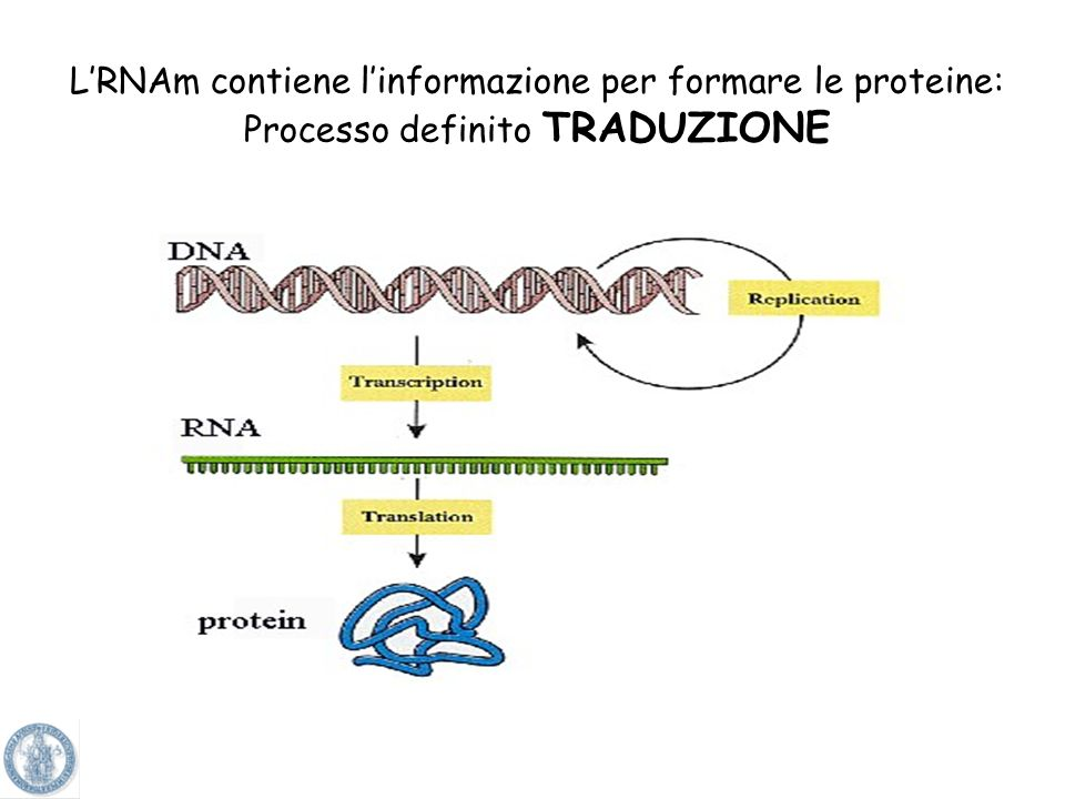 L'RNAm contiene l'informazione per formare le proteine: