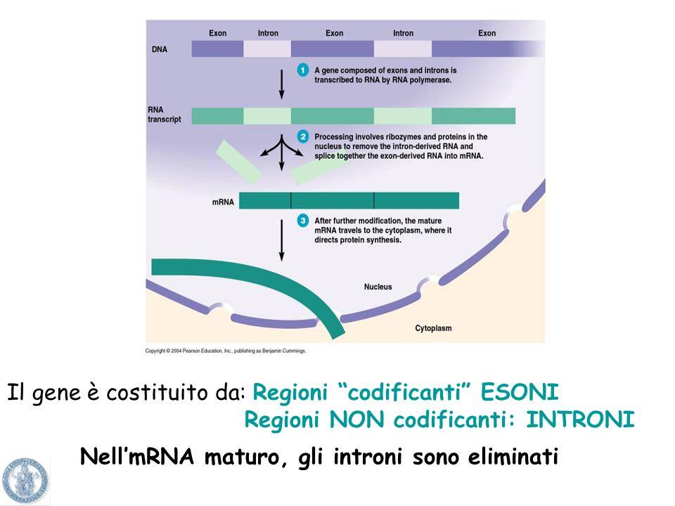 Nell'mRNA maturo, gli introni sono eliminati