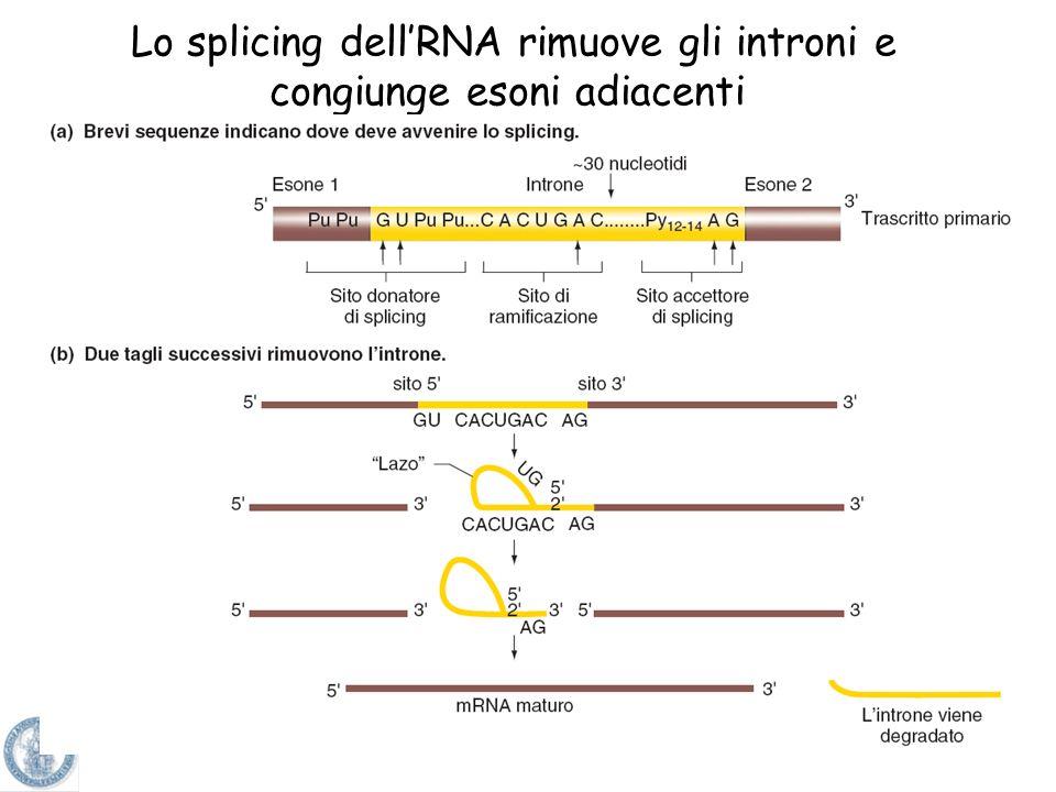 Lo splicing dell'RNA rimuove gli introni e congiunge esoni adiacenti