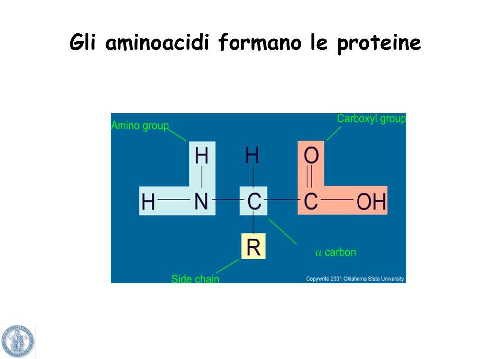 Gli aminoacidi formano le proteine