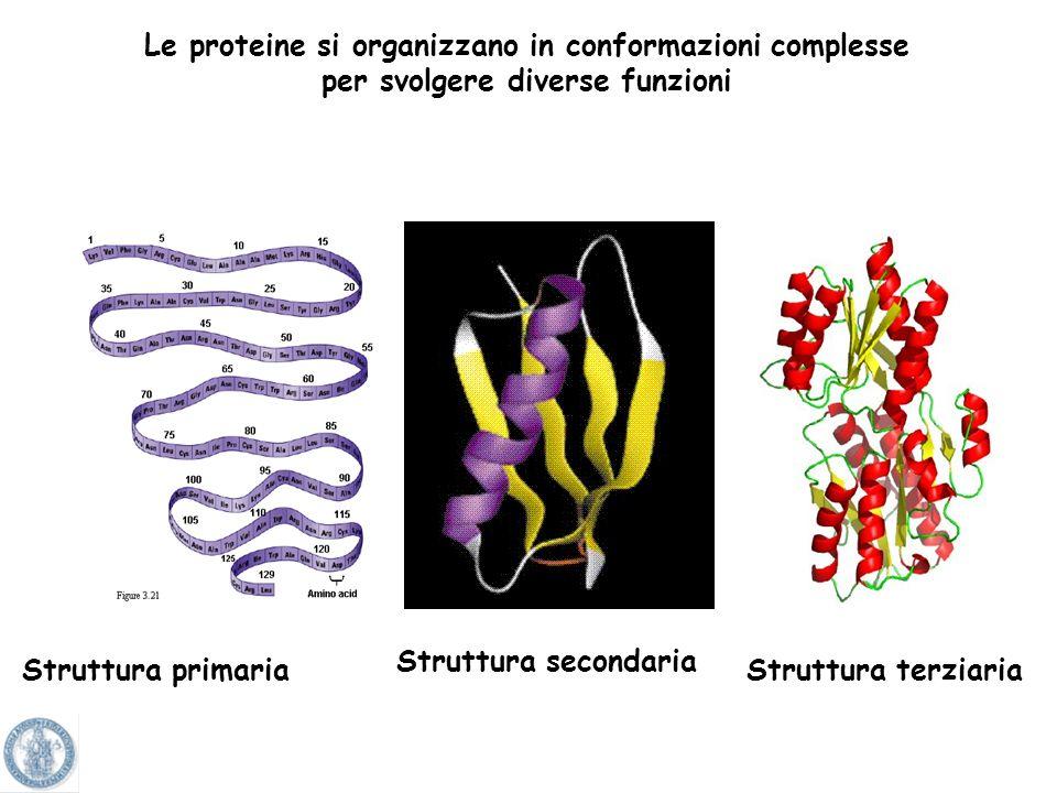 Le proteine si organizzano in conformazioni complesse per svolgere diverse funzioni