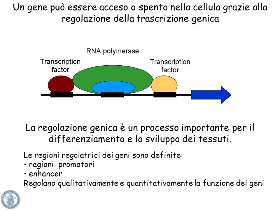 Un gene può essere acceso o spento nella cellula grazie alla regolazione della trascrizione genica
