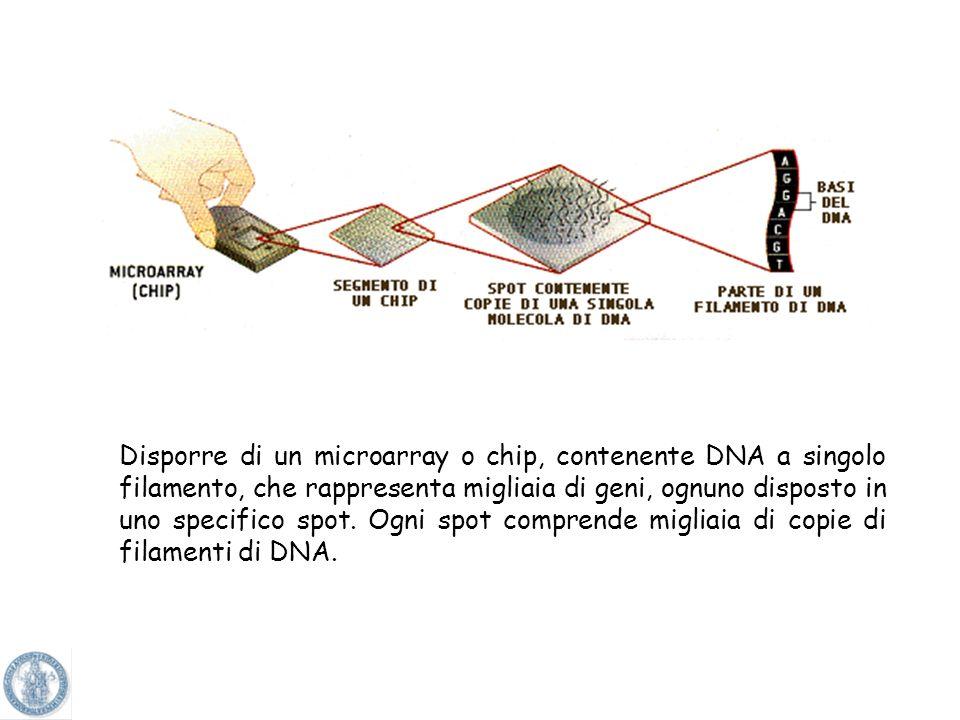 Disporre di un microarray o chip, contenente DNA a singolo filamento, che rappresenta migliaia di geni, ognuno disposto in uno specifico spot.