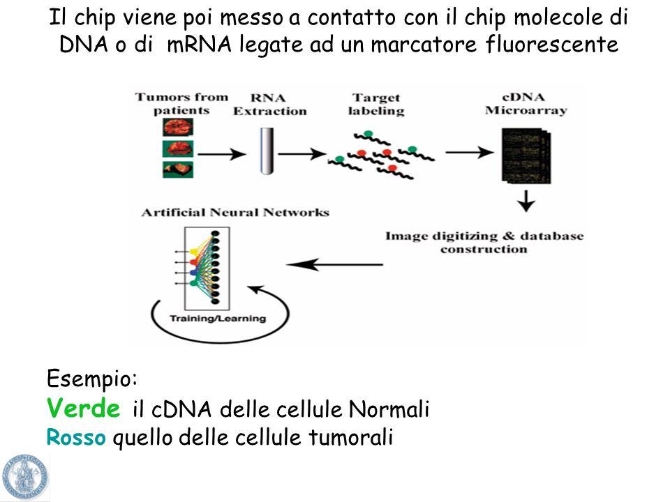 Verde il cDNA delle cellule Normali