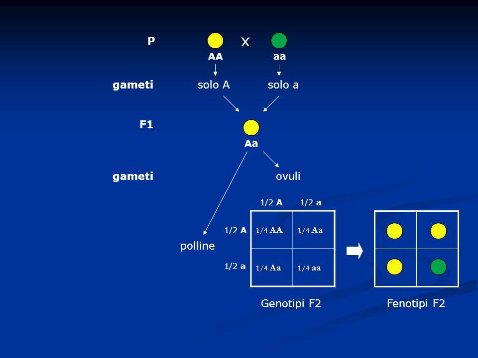 x P gameti solo A solo a F1 gameti ovuli polline Genotipi F2