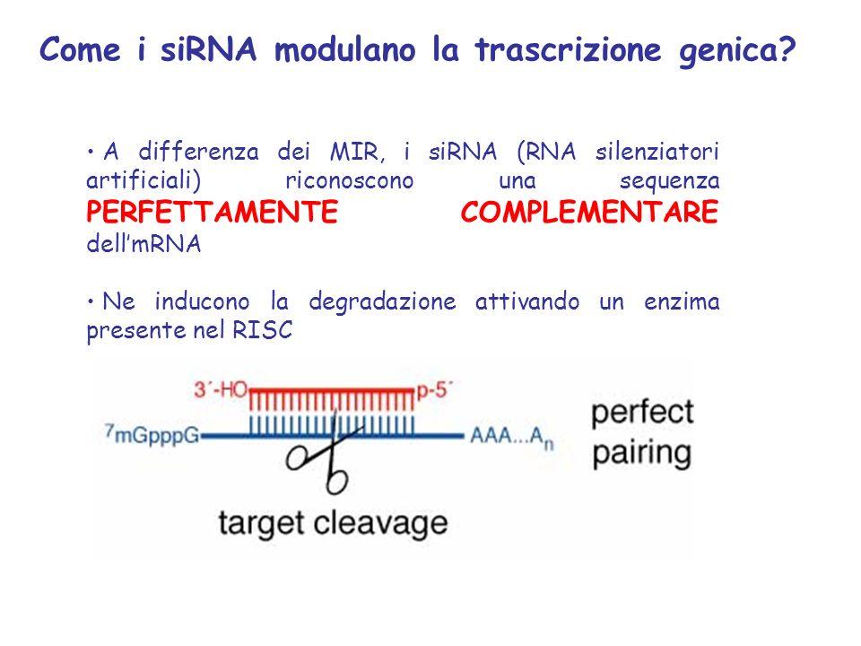 Come i siRNA modulano la trascrizione genica