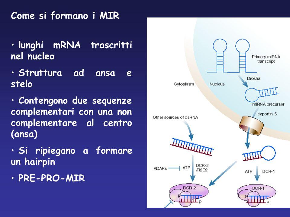 Come si formano i MIR lunghi mRNA trascritti nel nucleo