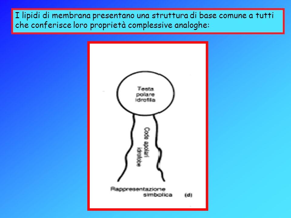 I lipidi di membrana presentano una struttura di base comune a tutti che conferisce loro proprietà complessive analoghe: