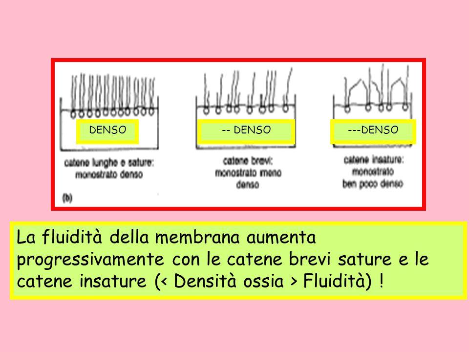 La fluidità della membrana aumenta progressivamente con le catene brevi sature e le catene insature (< Densità ossia > Fluidità) !