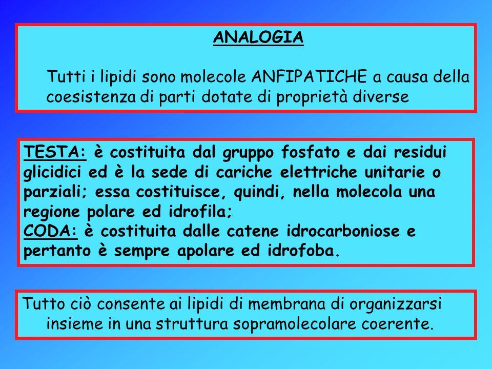 TESTA: è costituita dal gruppo fosfato e dai residui glicidici ed è la sede di cariche elettriche unitarie o parziali; essa costituisce, quindi, nella molecola una regione polare ed idrofila;