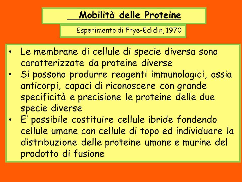 Mobilità delle Proteine