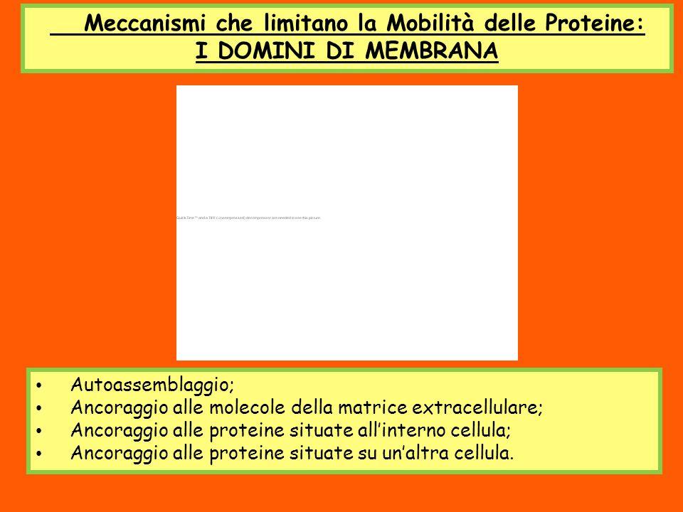 Meccanismi che limitano la Mobilità delle Proteine: