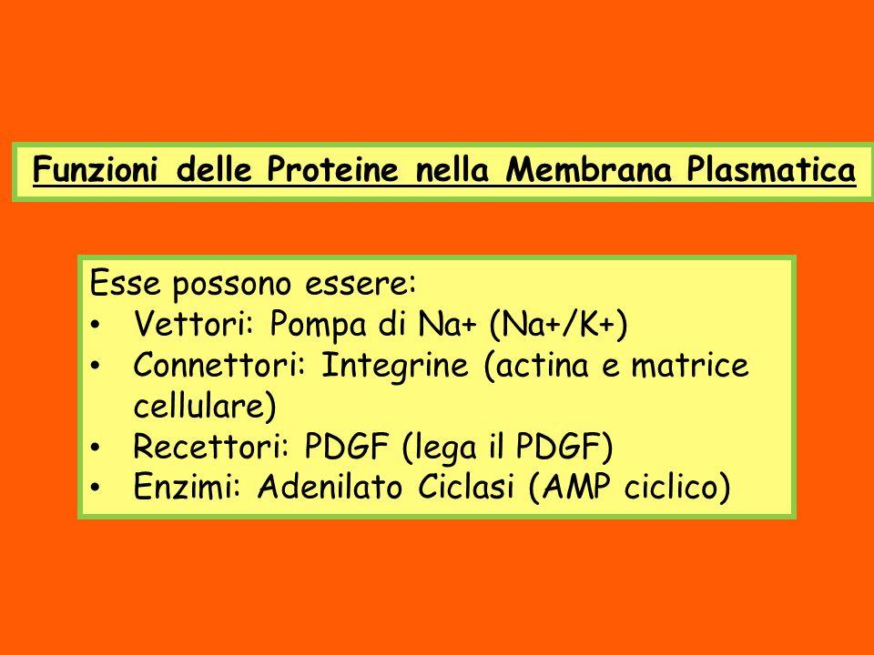 Funzioni delle Proteine nella Membrana Plasmatica
