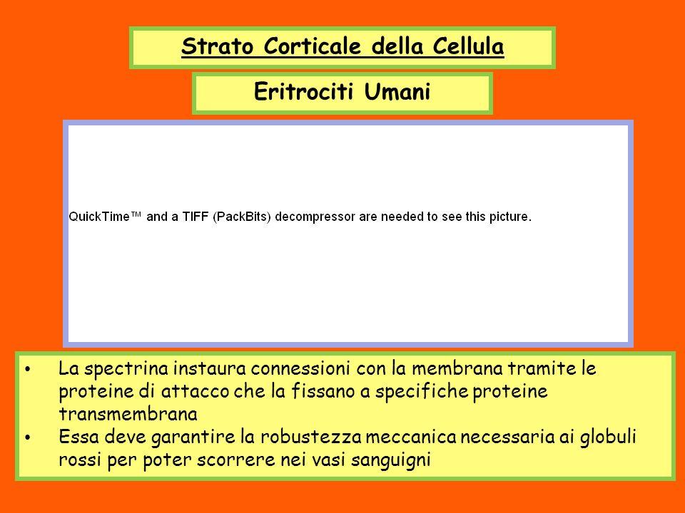 Strato Corticale della Cellula