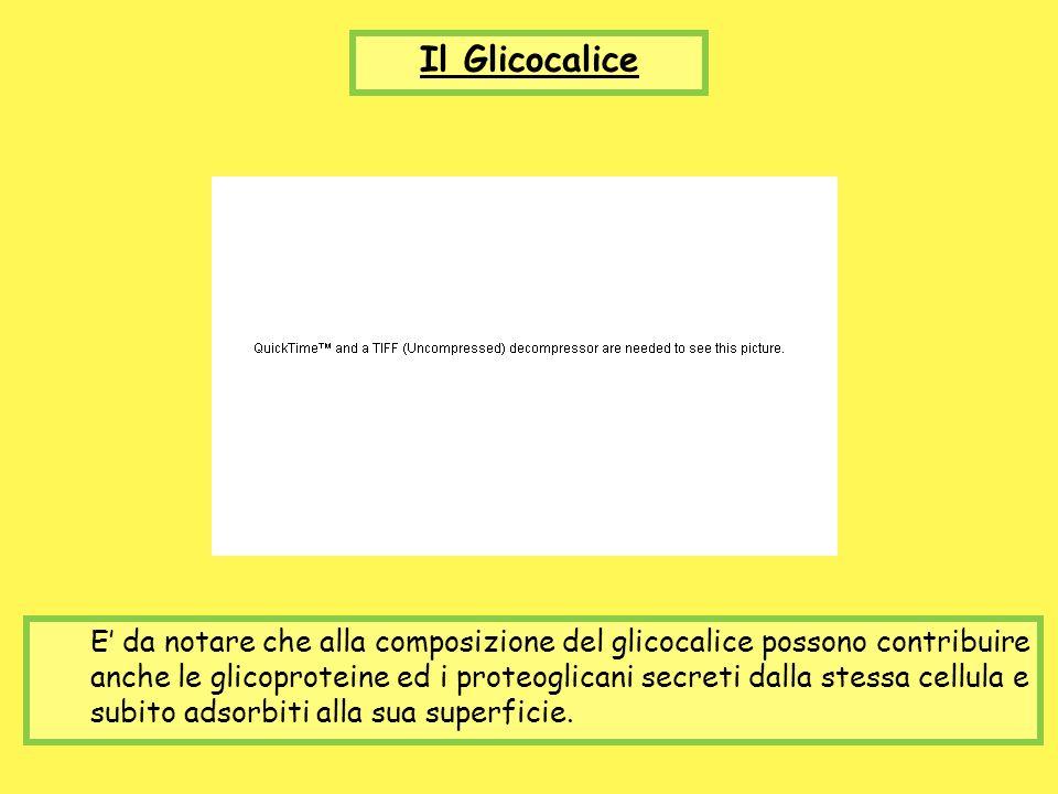 Il Glicocalice