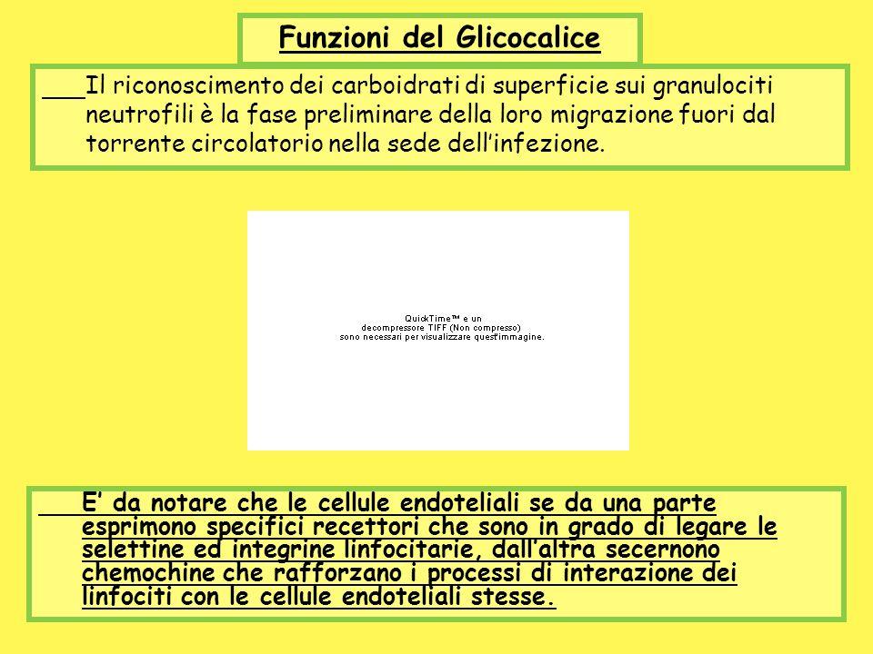 Funzioni del Glicocalice