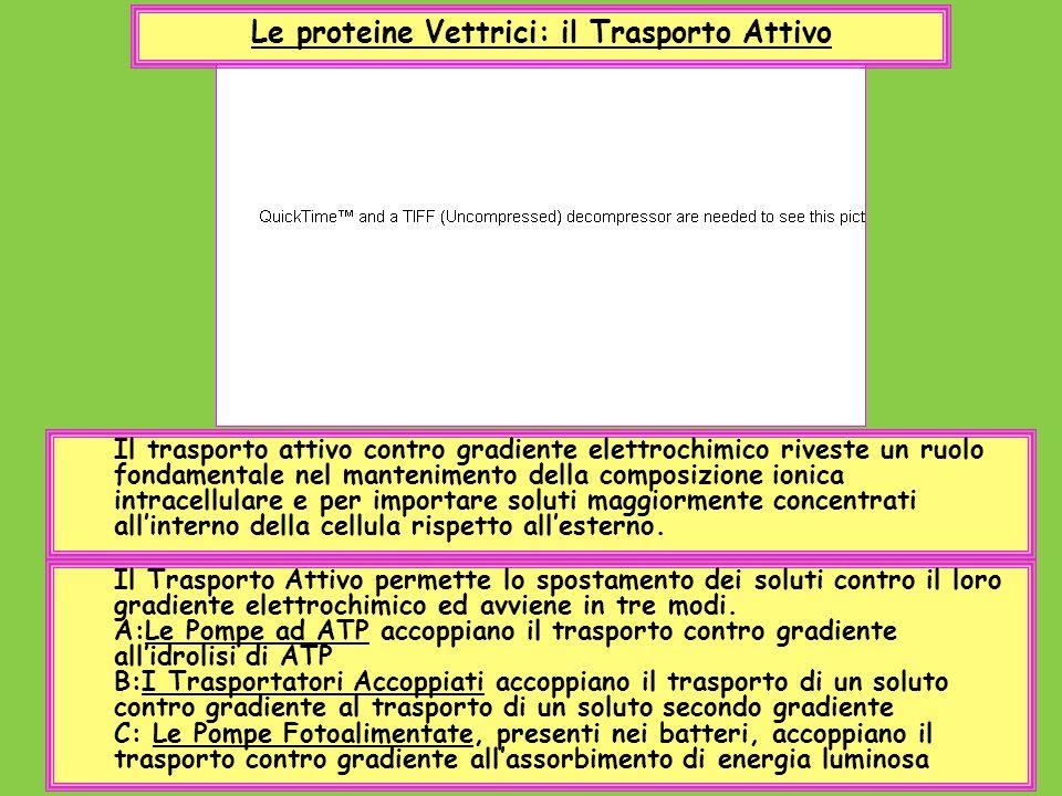 Le proteine Vettrici: il Trasporto Attivo