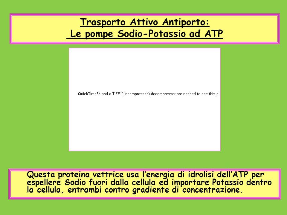 Trasporto Attivo Antiporto: Le pompe Sodio-Potassio ad ATP