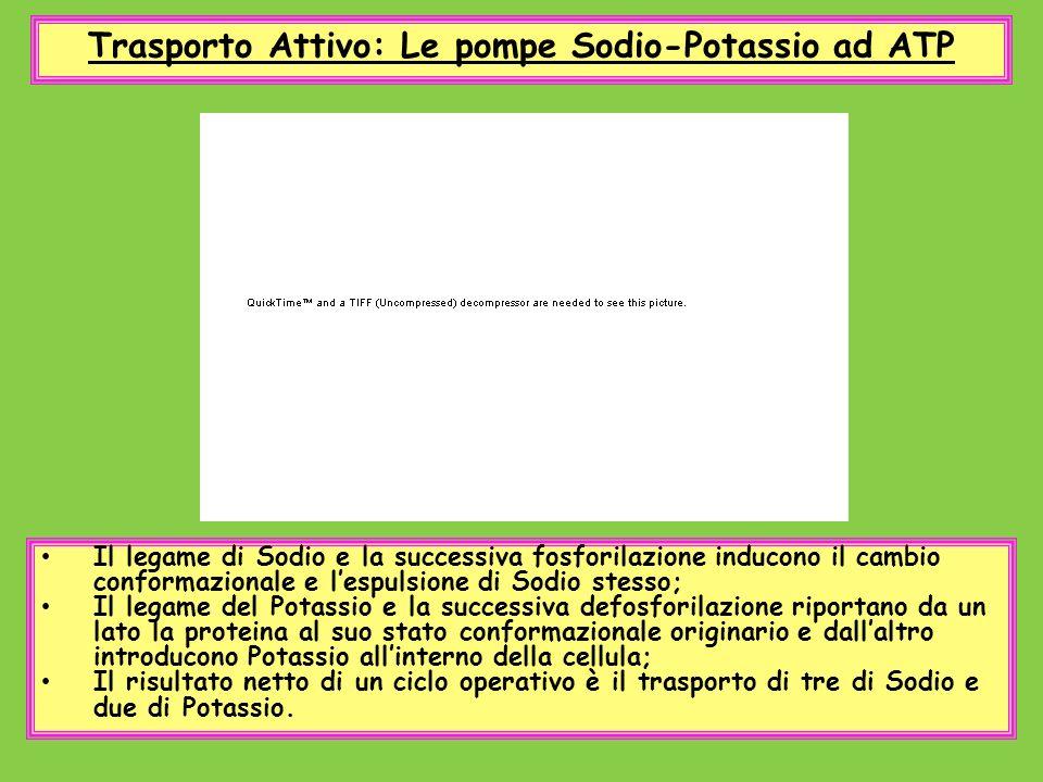 Trasporto Attivo: Le pompe Sodio-Potassio ad ATP