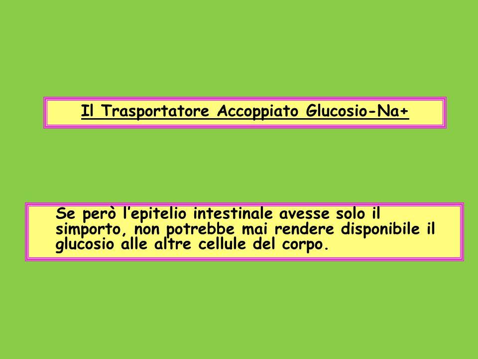 Il Trasportatore Accoppiato Glucosio-Na+