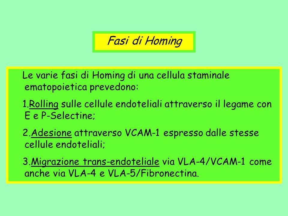 Le varie fasi di Homing di una cellula staminale ematopoietica prevedono: