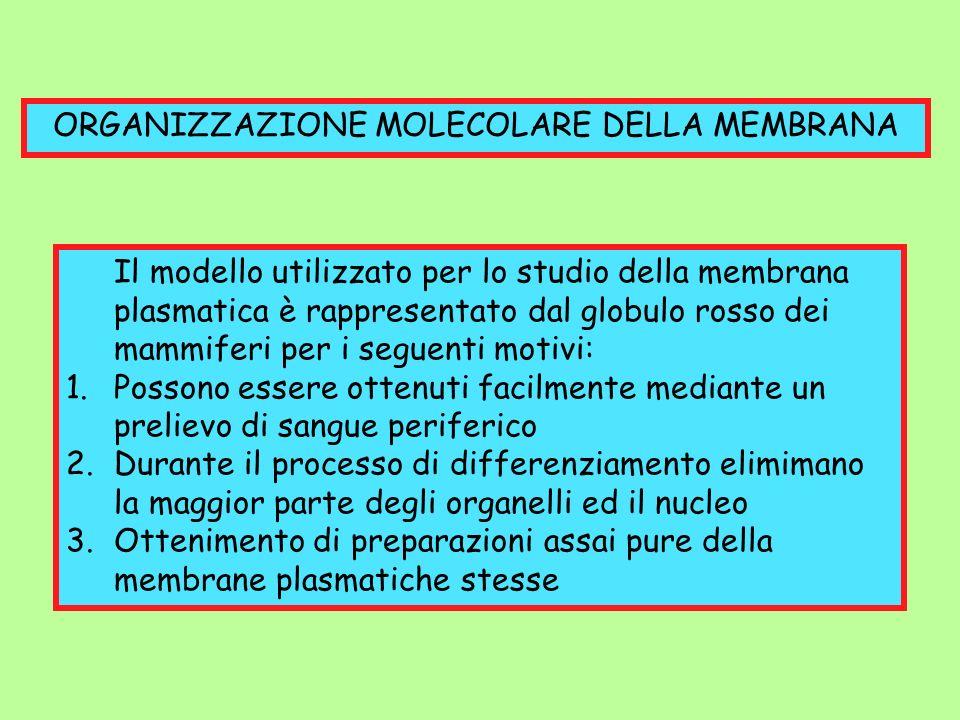 ORGANIZZAZIONE MOLECOLARE DELLA MEMBRANA