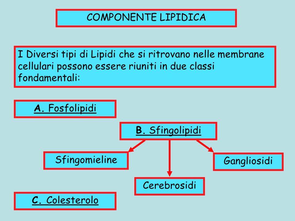 COMPONENTE LIPIDICA I Diversi tipi di Lipidi che si ritrovano nelle membrane cellulari possono essere riuniti in due classi fondamentali: