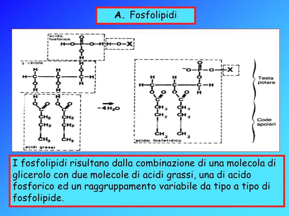 A. Fosfolipidi
