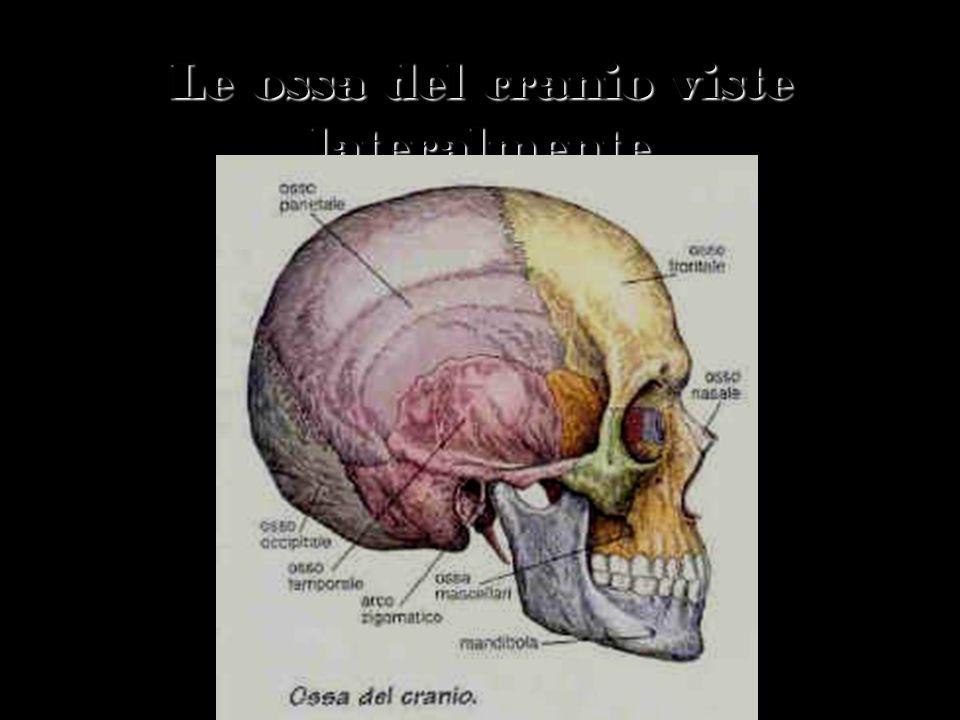 Le ossa del cranio viste lateralmente