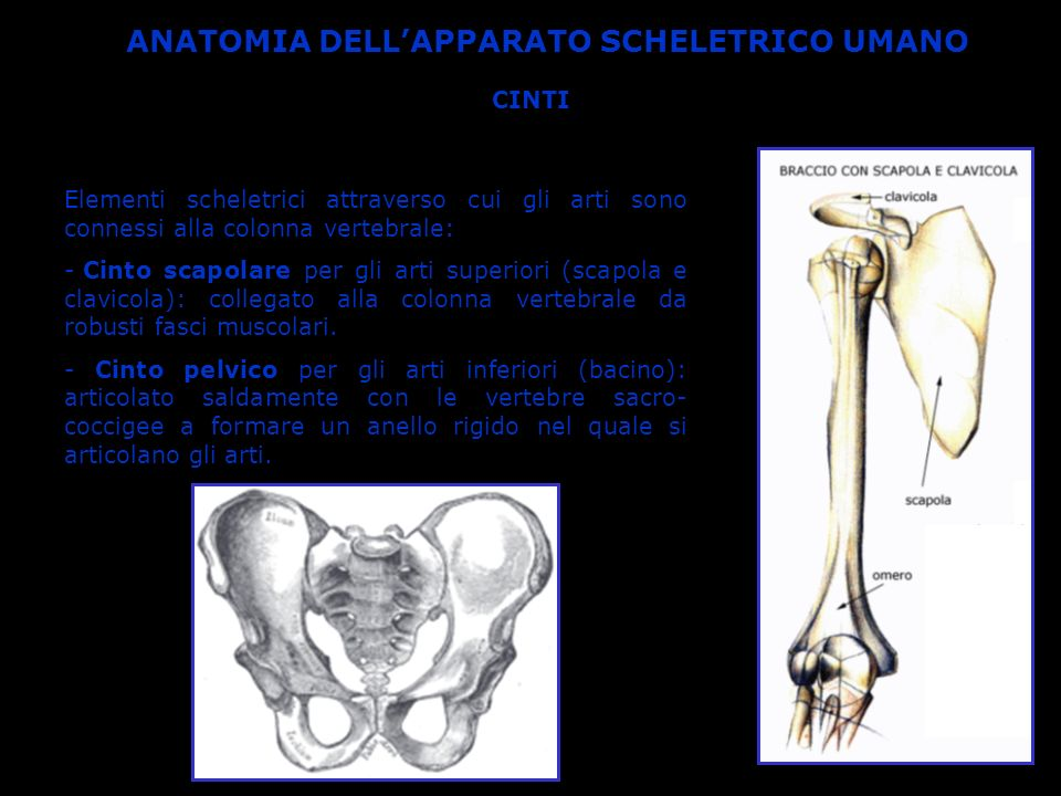 ANATOMIA DELL'APPARATO SCHELETRICO UMANO