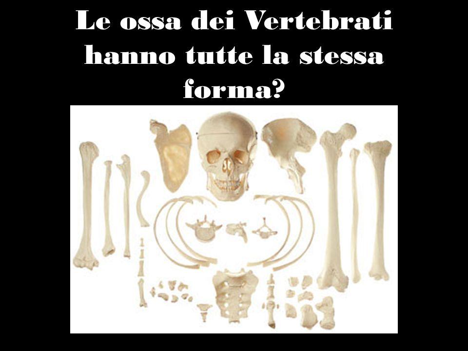 Le ossa dei Vertebrati hanno tutte la stessa forma