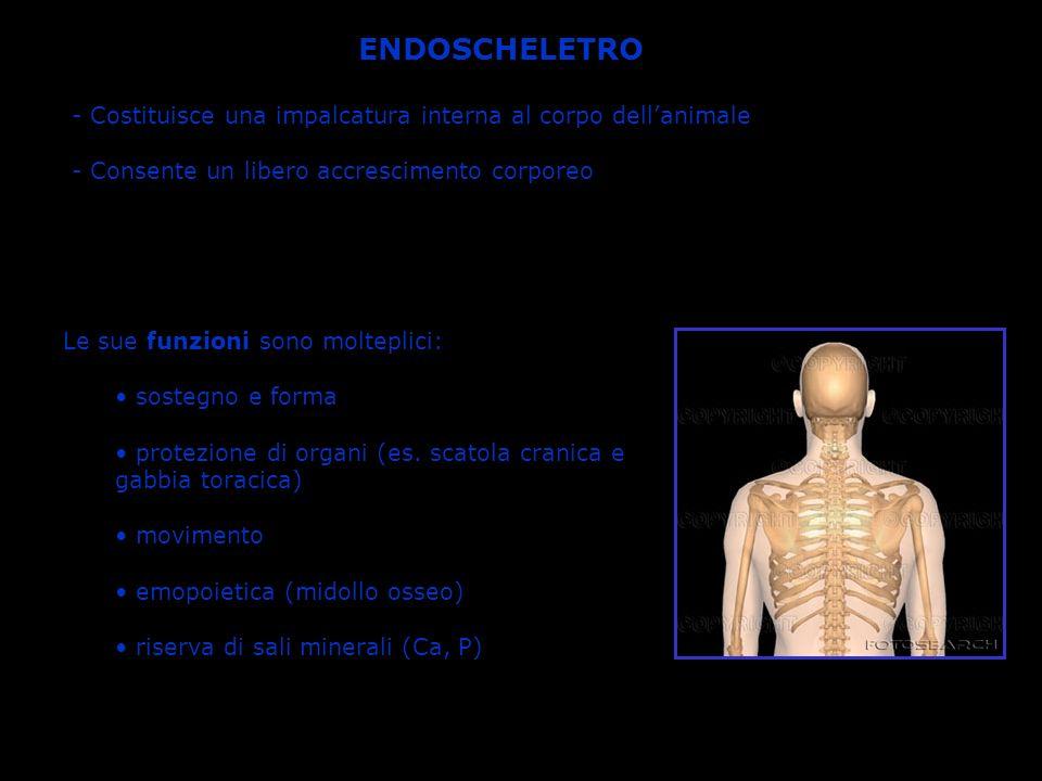 ENDOSCHELETRO Costituisce una impalcatura interna al corpo dell'animale. - Consente un libero accrescimento corporeo.