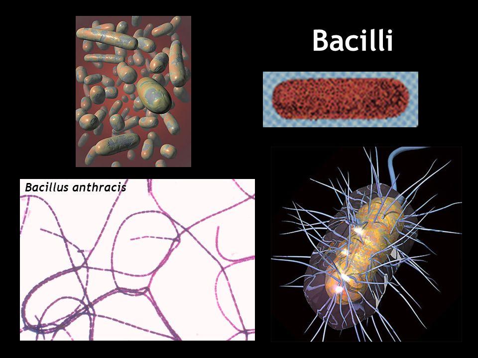 Bacilli Bacillus anthracis 21