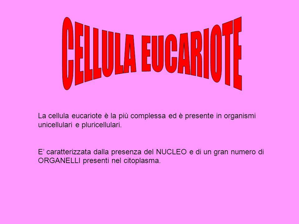 CELLULA EUCARIOTE La cellula eucariote è la più complessa ed è presente in organismi unicellulari e pluricellulari.
