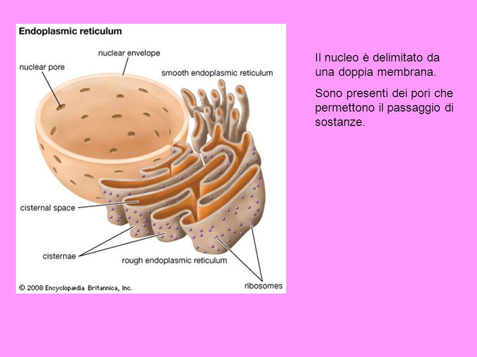 Il nucleo è delimitato da una doppia membrana.